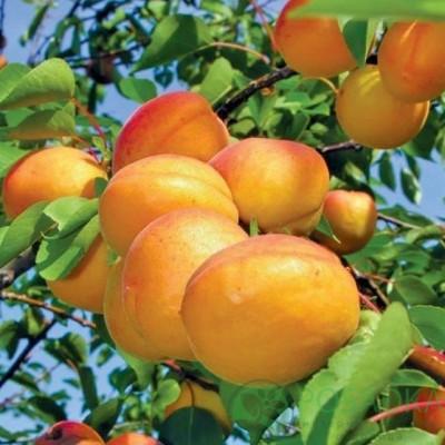 """Саженец абрикоса """"Баршерон"""""""