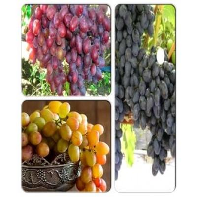Виноград > коллекция из 3-х сортов: Виноград Граф-Монте-кристо => Виноград Забава => Виноград Ливия