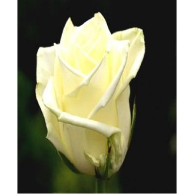 """Саженец розы """"Аваланж"""""""